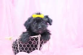 hair accessories for yorkie poos yorkie poo puppies for sale in north carolina happytail puppies