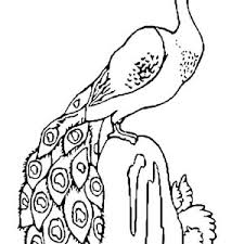 peacock colouring picture kids coloring pages of peacock coloring