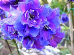 Blue And Purple Flowers 30 Best Blue And Purple Images On Pinterest Colors Pretty