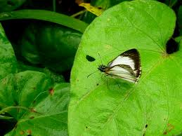butterfly moth photos in costa rica
