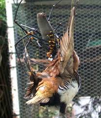 Bird In Backyard by Giant Spider Snapped Eating Bird In Backyard Near Cairns Flickr