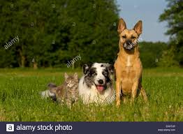 australian shepherd spaniel mix shepherd mix lying stock photos u0026 shepherd mix lying stock images