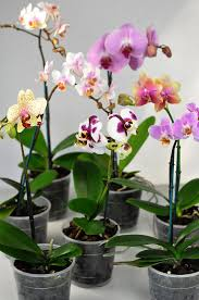 buy an orchid orchid flower a complete guide tesselaar flowers