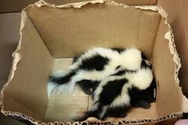 cops rescue baby skunks from subway station new york post