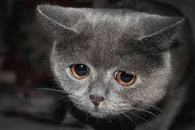 Sad Cat Meme - sadcat meme generator