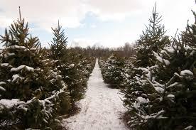 cut your own christmas trees ottawa fresh cut christmas trees