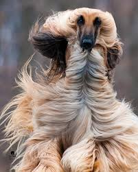 afghan hound king of dogs the 3325 best images about hunde on pinterest yorkie italian