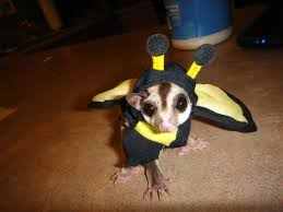 my friend u0027s sugar glider is totally ready for halloween pics