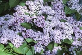 are lilac bushes compatible with ornamental grasses home guides
