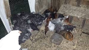 how can i get my chickens to perch backyard chickens