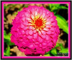 Zinnia Flower Pink Princess Zinnia Flower Castle Photograph By Kimberlee Baxter