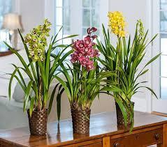 cymbidium orchid exclusive cymbidium orchid grower s choice white flower farm