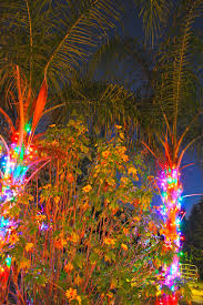 christmas palm trees phillip u0027s natural world