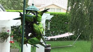 backyard bird feeder filled with wild nanday parakeets