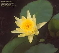 Fragrant Plants Florida - nymphaea odorata u2013 uf ifas center for aquatic and invasive plants