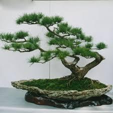 evergreen arbor tree japanese pine tree seeds courtyard and garden