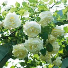 paul u0027s lemon pillar climbing roses type