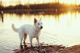 belgian shepherd 4 months belgian sheepdog dog breed information pictures characteristics
