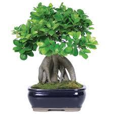 ginseng grafted ficus bonsai tree brussel u0027s bonsai