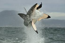 are south africa u0027s great white sharks really u0027dying out u0027 sharks