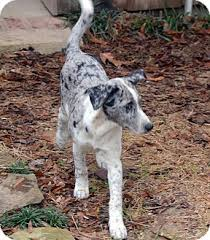 bluetick coonhound puppies for sale in louisiana baboo blue eyes adopted puppy clinton la australian