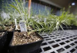 flagstaff native plant and seed milkweed for monarchs local azdailysun com
