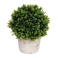 boxwood in white pot 9 in at home at home