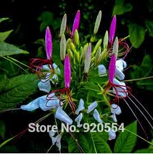 Cleome Flower - compare prices on cleome flower seeds online shopping buy low