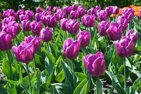 all the prettiest things about purple tulips