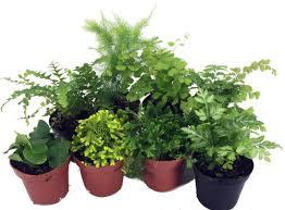 mini plants mini ferns for terrariums fairy garden 8 different plants 2