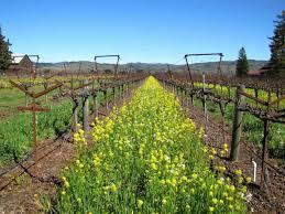 grape vine trellis jasea win