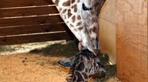 zoo reveals name of april the giraffe u0027s calf