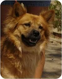 australian shepherd in california harley adopted dog bakersfield ca chow chow australian