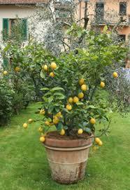 tips for growing lemons in the garden or indoors lemon outdoors