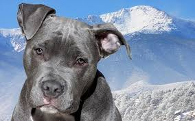 blue nose american pitbull terrier how much does a blue nose pit bull cost dog discoveries