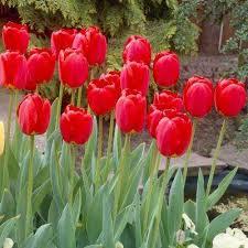 red flower bulbs garden plants u0026 flowers the home depot