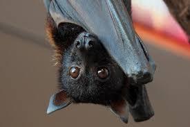 mammiferi volanti ascoltare le voci dei pipistrelli nuova bat in citt罌 alta