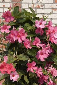 Plants Blooming Mandevilla Flowers U2013 When Does Mandevilla Vine Bloom And For How Long