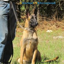 belgian sheepdog vs german shepherd belgian malinois