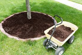 mulch work around the trees growing in the backyard during