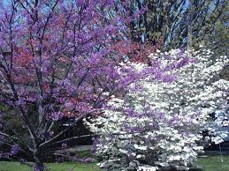 redbud trees and dogwood trees blooming in the spring we u0027re