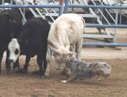 australian shepherd herding home