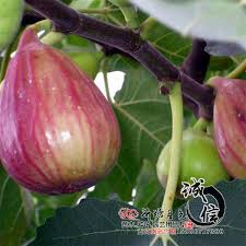 best wholesale grafted fruit tree seedlings planted figs and
