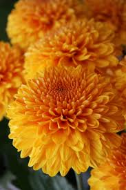 mums flower 108 best mums u0026 rhododendron images on pinterest chrysanthemums