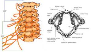 Pictures Of The Anatomy Of The Human Body Cervical Spine Anatomy Overview Gross Anatomy