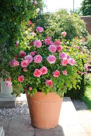 Shrubs For Patio Pots Miniature Roses For Containers And Patio Gardens Hgtv