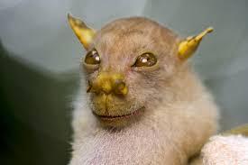 pictures tube nosed bat more rare species found