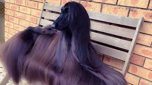 us afghan hound this afghan hound has way better hair than you