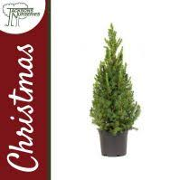 buy real christmas trees from jacksons nurseries stoke on trent