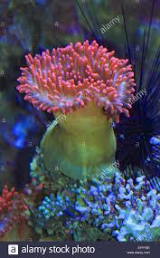bulb tentacle sea anemone stock photos u0026 bulb tentacle sea anemone